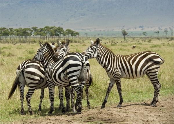 Zebra by Carljorgensen
