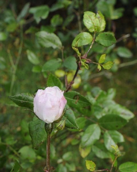 Last rose of summer by trevmsklly