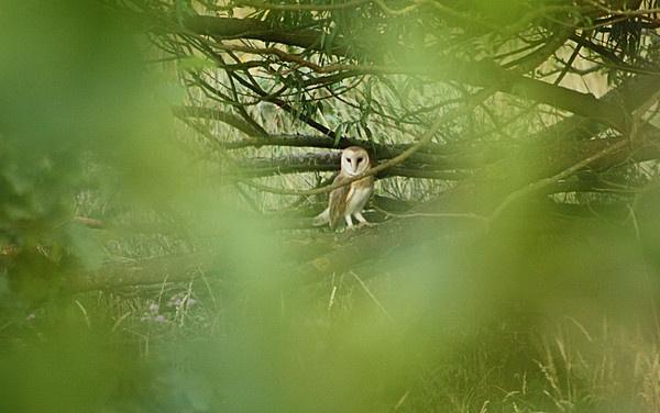 Barn Owl by Malc61