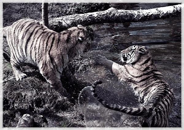 Cat fight by EddyG