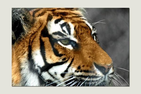 Tiger by frispy