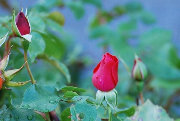 Rose bud by whiteknight