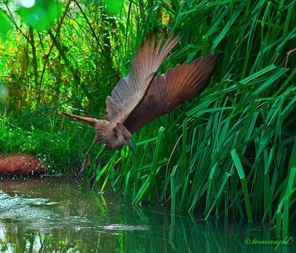 Hamerkop in Flight by tommyld