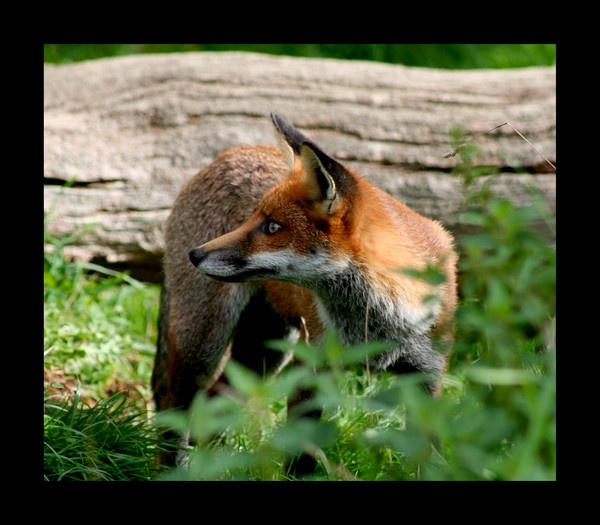 Fox8 by katep1