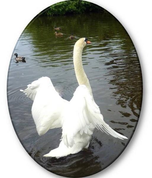 Culzean Swan by Caledonia