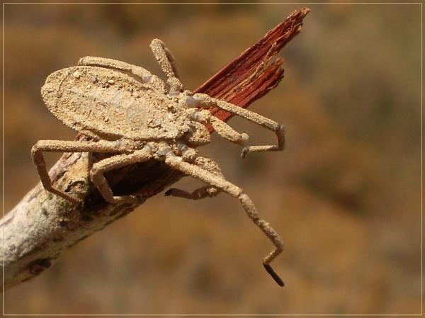 selenopidae by CarolG