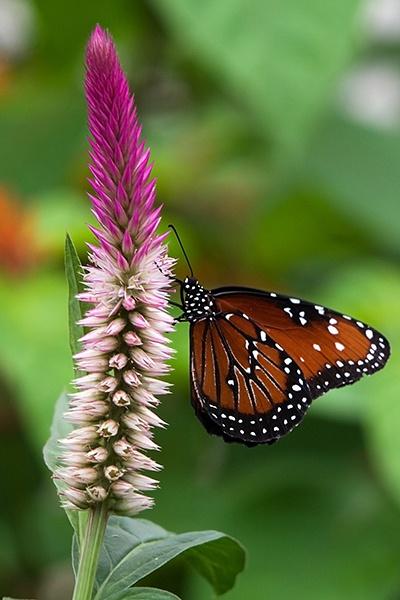 Butterfly by shutterbugcrazy