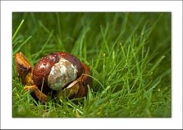 Autumn Horse Chestnut