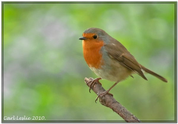 The Robin by torres99
