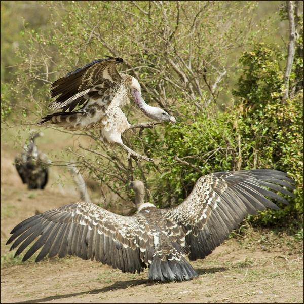 Vultures by Carljorgensen