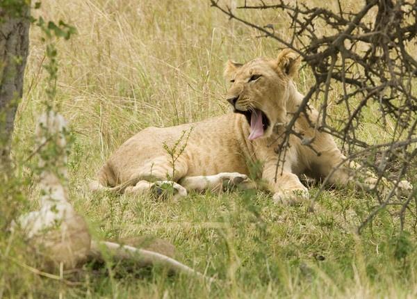 Lion cub 2 by Carljorgensen