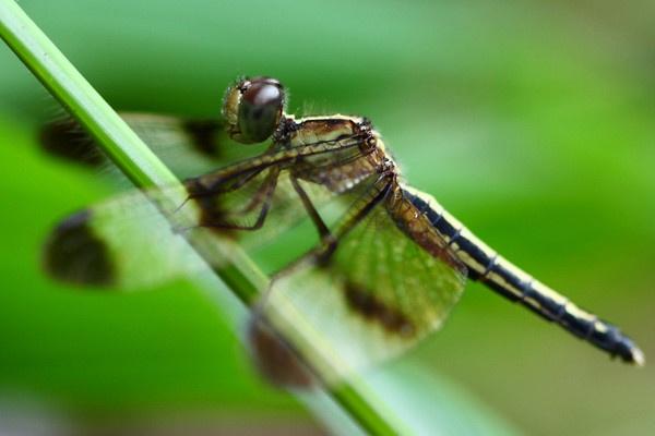 Dragonfly by AneesKarakkad