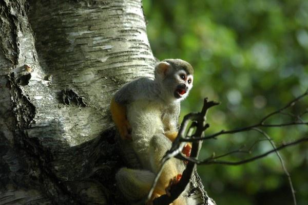 Squirrel Monkey by jasongoodman