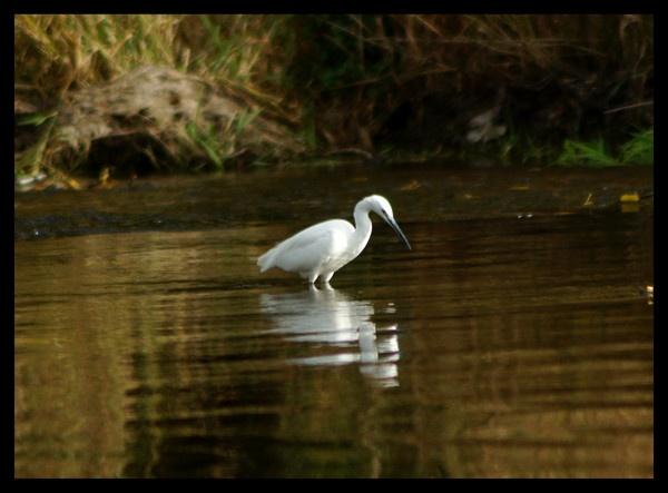 egret by alianar