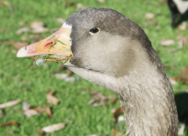 Goose by Pentaxpaul
