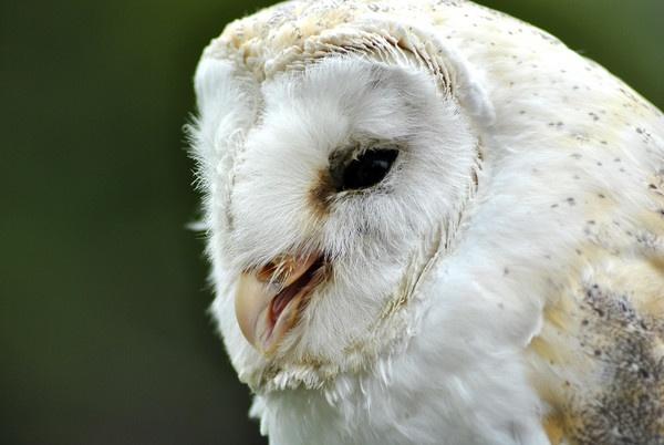 Barn Owl by addp