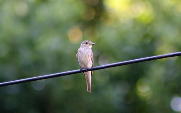 Spotted Flycatcher by Malc61