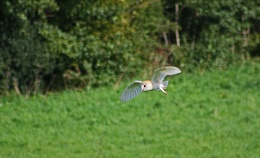 Yes, another Barn Owl