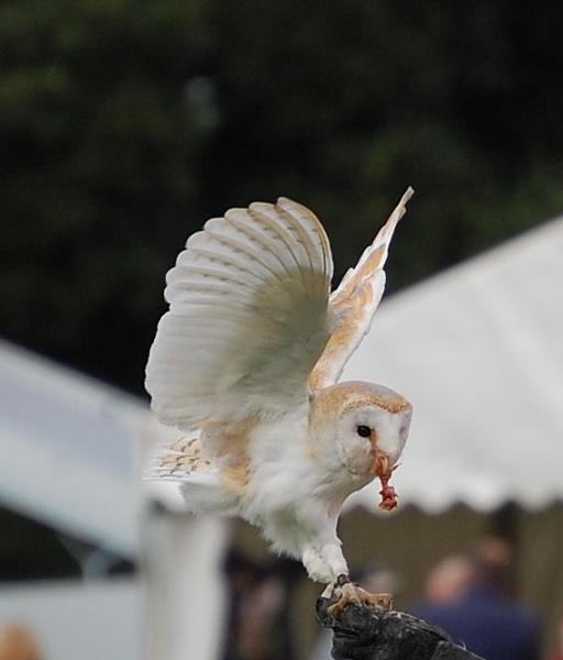Barn Owl by tressypittkerby