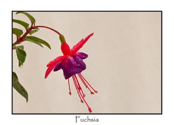 Fuchsia by shush