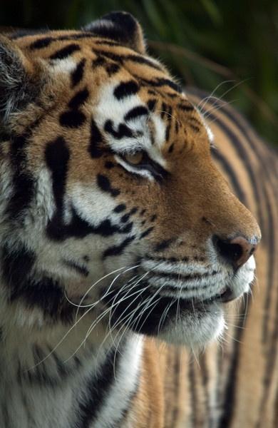 Tiger by JohnJenkins99