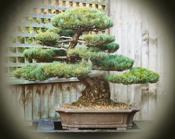 160 year old Bonsai by Mozzytheboy