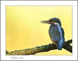 Sunny Morning Kingfisher