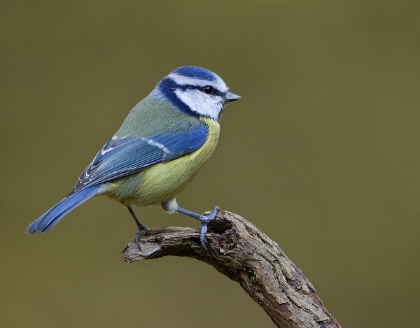 Blue tit by Steve_S
