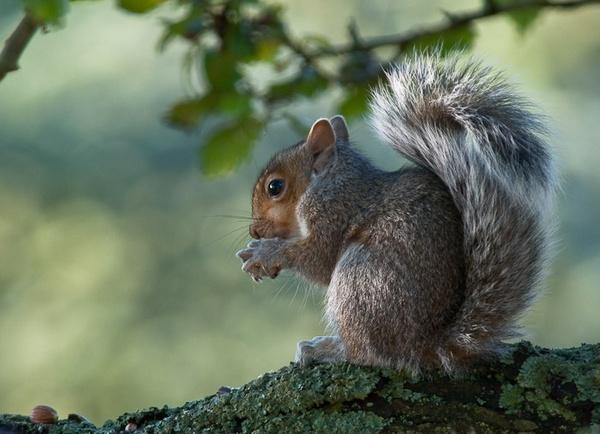 autumn squirrel by Gazzten