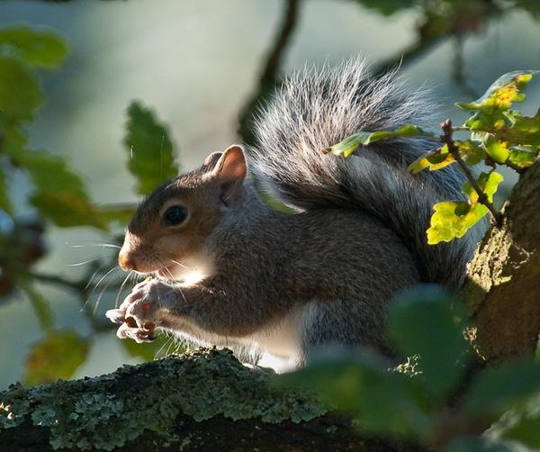 Another autumn light squirrel by Gazzten