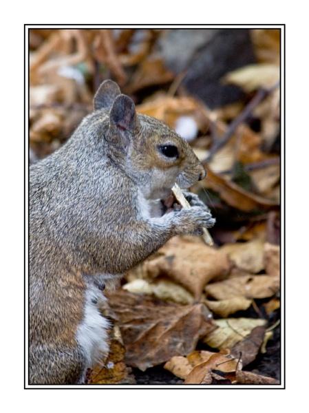 Grey Squirrel Feeding by peugeot406