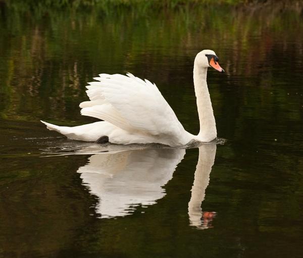 Throop Swans by Trev_B