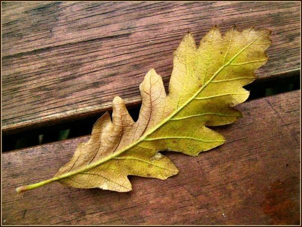 Oak leaf on teak by JPatrickM
