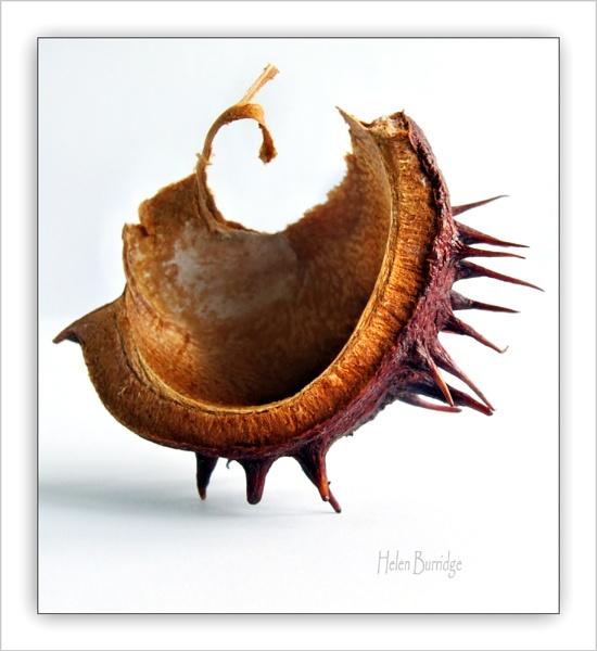 Conker shell 1 by helenlinda