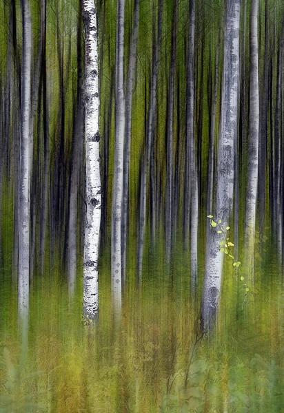 Aspen Woods by twainey