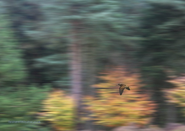 woodcock at taxal by adobedon