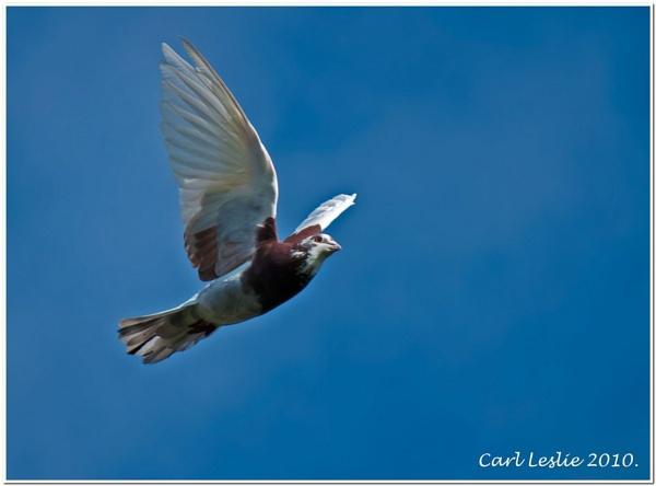Catch The Pidgeon. by torres99