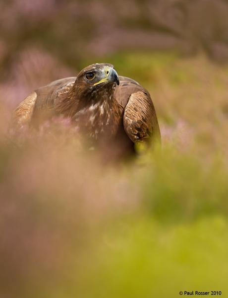 Golden Eagle by paulrosser