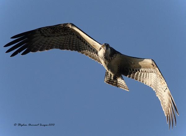 Osprey by StephenDurrant