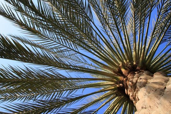 Palm Tree by AneesKarakkad