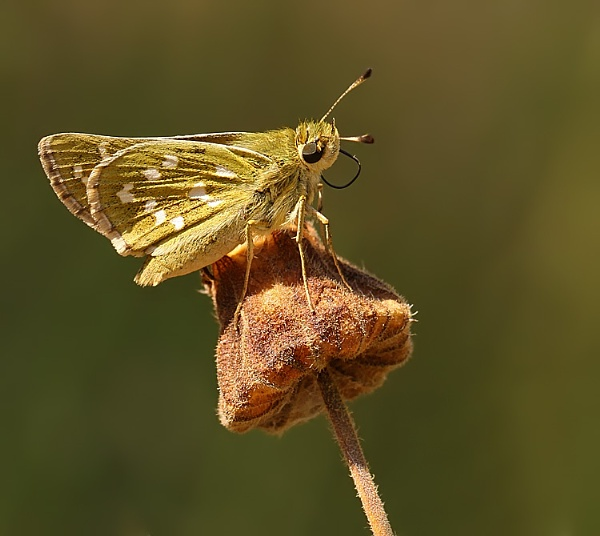 Silver Spotted Skipper by NigelKiteley