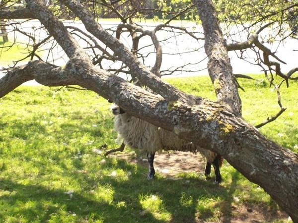 sheep by jessie272