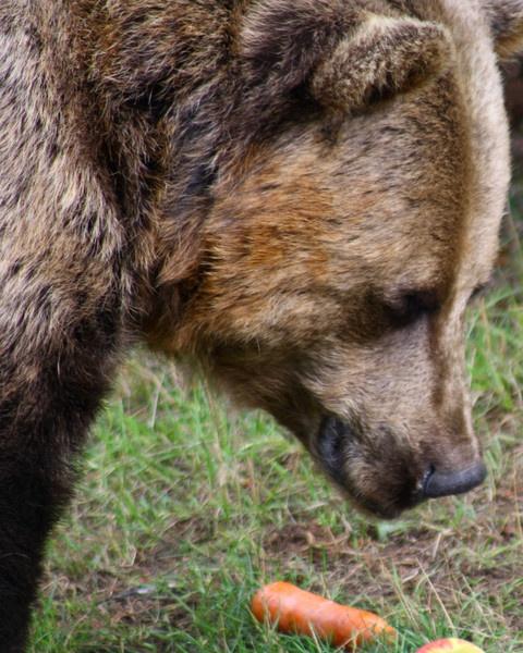 Brown Bear by cricketcaz