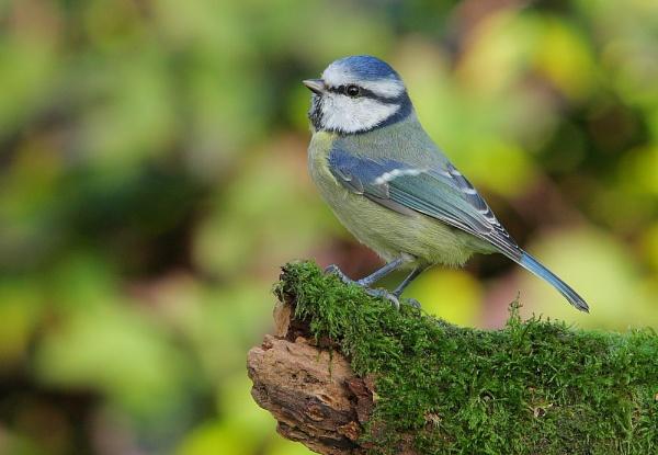 Blue tit (Cyanistes caeruleus ) by forestfotos