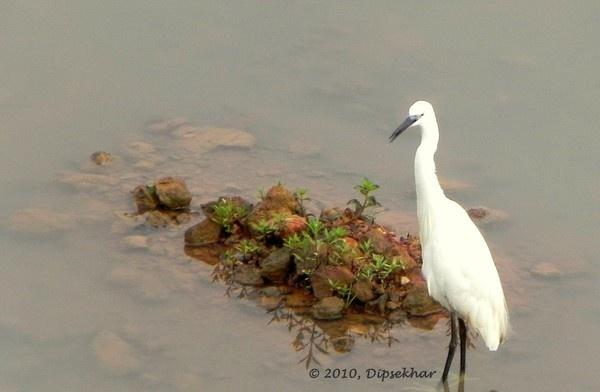 Egret by dipsekhar