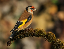 Goldfinch III