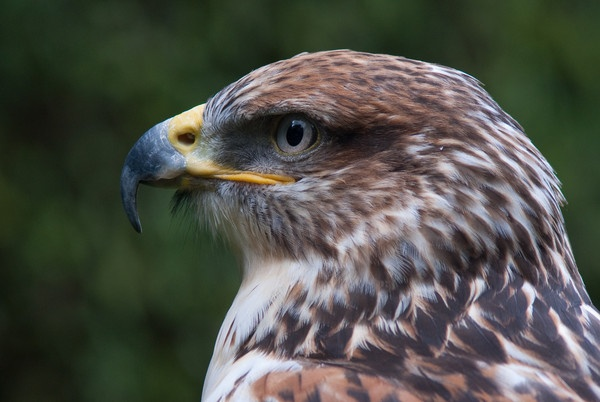 Ferruginous Hawk by kieranmccay