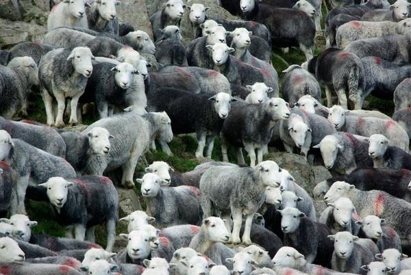 Herdwick sheep by saltholme
