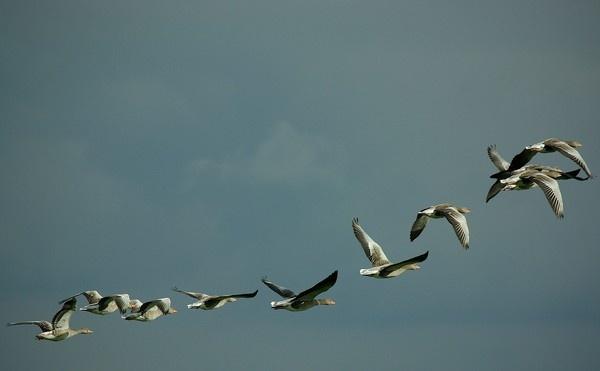 Greylag geese by saltholme