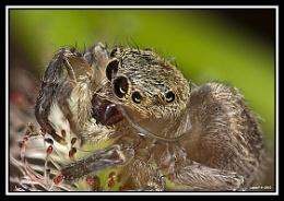 Jumping Spider Head shot